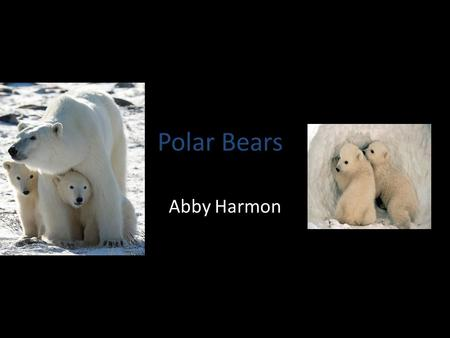 Polar Bears Abby Harmon. World's Largest Predators Where can I be found? – Artic – U.S.( Alaska) – Canada – Russia – Denmark(Greenland) – Norway.