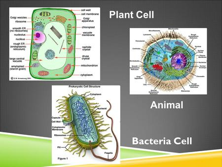 Plant Cell Animal Bacteria Cell. CELL STRUCTURE AND FUNCTION NOTES Organelles: What you should know Organelles: What you should know Inner Life of a Cell.