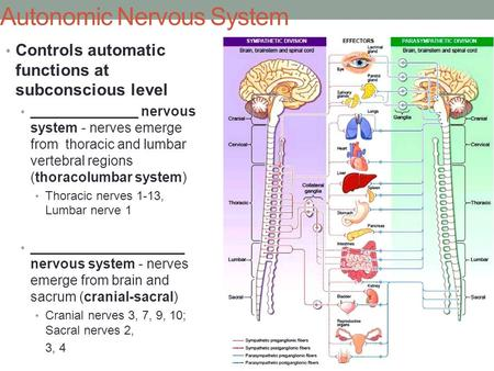 Autonomic Nervous System Controls automatic functions at subconscious level ______________ nervous system - nerves emerge from thoracic and lumbar vertebral.