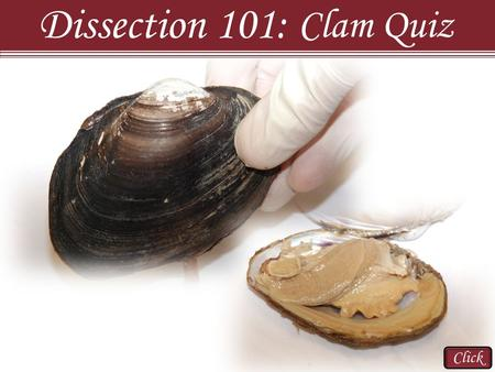 Click Dissection 101: Clam Quiz. Click Orientation Dissection 101: Clam Quiz #1. Which of the following is the ventral side of the clam? Side: A B C D.