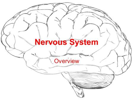 Nervous System Overview. Divided into Two Parts: Central (CNS) Peripheral (PNS)