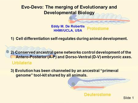 Evo-Devo: The merging of Evolutionary and Developmental Biology Eddy M. De Robertis HHMI/UCLA, USA 1)Cell differentiation self-regulates during animal.