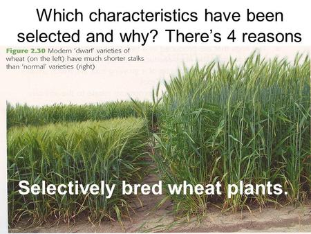 Which characteristics have been selected and why? There's 4 reasons Selectively bred wheat plants.