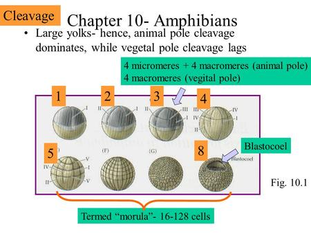Chapter 10- Amphibians Large yolks- hence, animal pole cleavage dominates, while vegetal pole cleavage lags 123 4 micromeres + 4 macromeres (animal pole)