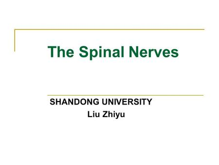 The Spinal Nerves SHANDONG UNIVERSITY Liu Zhiyu. General description 31 pairs spinal nerves:  Cervical nerves—8 pairs (C1-C8)  Thoracic nerves—12 pairs.