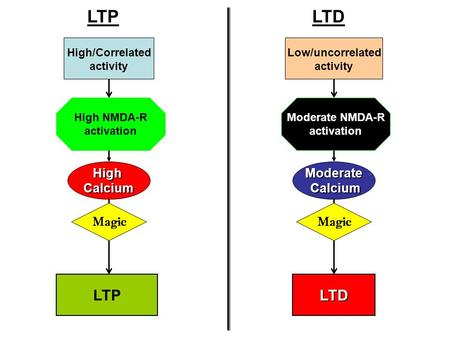 High/Correlated activity HighCalcium LTP Low/uncorrelated activity Moderate Calcium Calcium LTD LTD Magic High NMDA-R activation Moderate NMDA-R activation.