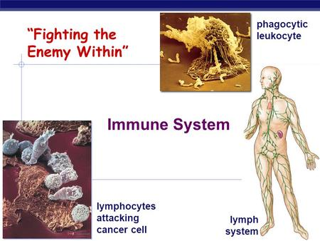 "AP Biology 2006-2007 ""Fighting the Enemy Within"" Immune System lymphocytes attacking cancer cell phagocytic leukocyte lymph system."
