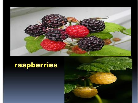 Raspberries are grown on canes and are either handpicked or commercially grown.