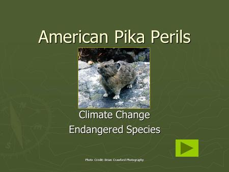 Photo Credit: Brian Crawford Photography American Pika Perils Climate Change Endangered Species.