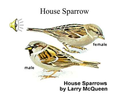 House Sparrow Vesper Sparrow Song Sparrow Harris Sparrow.