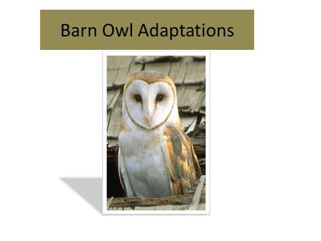 Barn Owl Adaptations. Eyesight  Large Eyes  Eyes do not move so heads must move to see.  Heads can turn 270 degrees  Very little light is needed for.