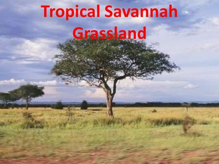 Tropical Savannah Grassland. Key Features of the Tropical Savanna Biome This tropical biome develops where the climate provides one or two wet seasons.