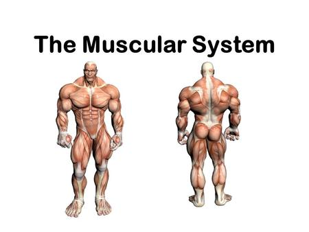 The Muscular System. Muscle Control Type of muscle Nervous control Type of control Example Skeletal Controlled by CNS Voluntary Lifting a glass Cardiac.