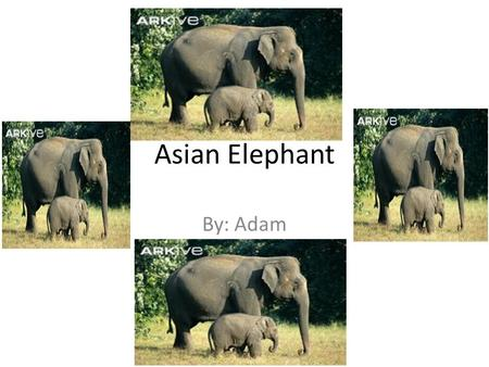 Asian Elephant By: Adam. Habitat Tropical Forest Evergreen Lowland.