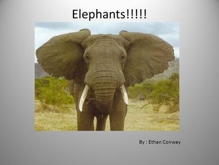 Elephants!!!!! By : Ethan Conway Types of Elephants There are two main types of elephants. They are the Asian and the African. There are four subspecies.