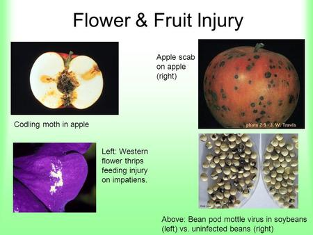 Flower & Fruit Injury Codling moth in apple Apple scab on apple (right) Left: Western flower thrips feeding injury on impatiens. Above: Bean pod mottle.