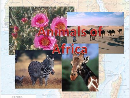 There are four natural zones in Africa. Wet equatorial forests Savannahs and rare forests Deserts and semi deserts Tough evergreen forests A lot of different.