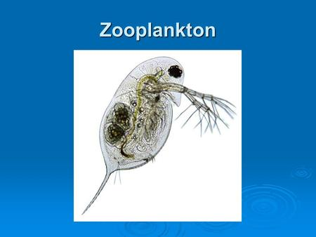 Zooplankton. Zooplankton  Planktonic animals can be found in almost all animal phyla  Most zooplankton belong to 3 major groups: rotifers, Cladocera,