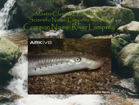 Master Class: AGNATHA Scientific Name: Lampetra fluviatilis Common Name: River Lamprey.