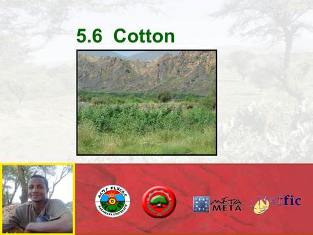 5.6 Cotton. (COTTON PRACTICES) COTTON CROPS PLANTING Steps:  Land preparation  Irrigation  Planting  Weeding  Harvesting  Marketing.