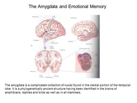 The Amygdala and Emotional Memory The amygdala is a complicated collection of nuclei found in the medial portion of the temporal lobe. It is a phylogenetically.