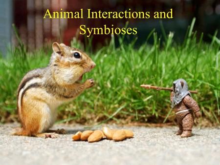 "Animal Interactions and Symbioses. Predation Any animal that either totally or partly consumes a plant or other animal A ""True Predator"" kills."