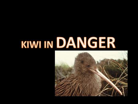 The kiwi is an endangered species. It's disappearing at a rate of 5.8 % per year, threatened by imported predators. such as dogs and stoats and by loss.