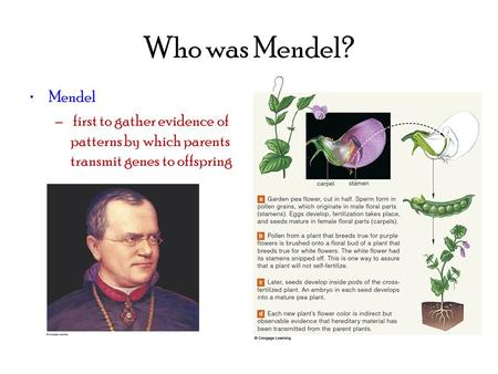 Who was Mendel? Mendel – first to gather evidence of patterns by which parents transmit genes to offspring.