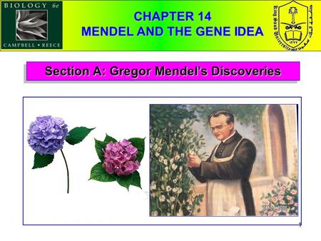1 Section A: Gregor Mendel's Discoveries CHAPTER 14 MENDEL AND THE GENE IDEA.