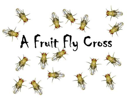 A Fruit Fly Cross. Background information A recessive mutant allele, black, causes a very dark body in fruit flies, Drosophila, when homozygous. The wild-type.