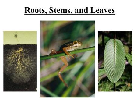 Roots, Stems, and Leaves. Roots Types of roots –Taproot: primary root that grows longer and thicker than the secondary roots (grows deeper) ex. carrots.