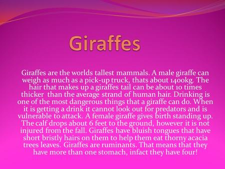 Giraffes are the worlds tallest mammals. A male giraffe can weigh as much as a pick-up truck, thats about 1400kg. The hair that makes up a giraffes tail.