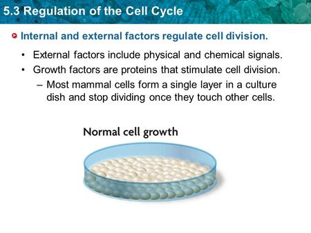 5.3 Regulation of the Cell Cycle Internal and external factors regulate cell division. External factors include physical and chemical signals. Growth factors.
