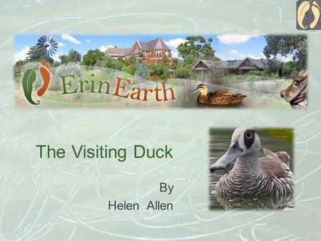 The Visiting Duck By Helen Allen. I am a pink eared duck. A little while ago I was by the lake at Temora with a group of my friends. Suddenly a big dog.