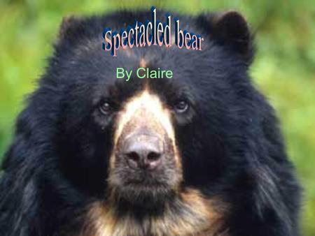By Claire. . The spectacled bear got its name by its look. Around his/her eyes it looks like it could be wearing spectacles. The bears make there habitat.