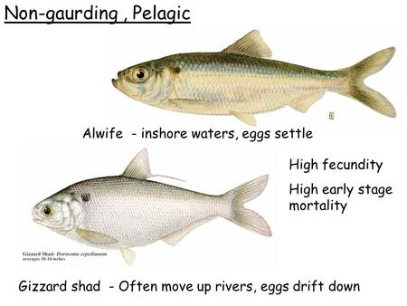 Non-gaurding, Pelagic Alwife - inshore waters, eggs settle Gizzard shad - Often move up rivers, eggs drift down High fecundity High early stage mortality.