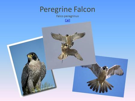Peregrine Falcon Falco peregrinus Call Call. What makes a bird of prey a bird of prey?  They use their talons to catch their food.