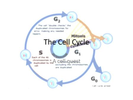 The Cell Cycle A cell quest. I. Cell Cycle: Purpose A. The cell cycle is the cycle a cell goes through in order to make additional cells. 1.Growth 2.Replacing.