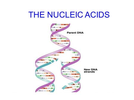 THE NUCLEIC ACIDS Friedrich Miescher in 1869 isolated what he called nuclein from the nuclei of pus cells Nuclein was shown to have acidic properties,
