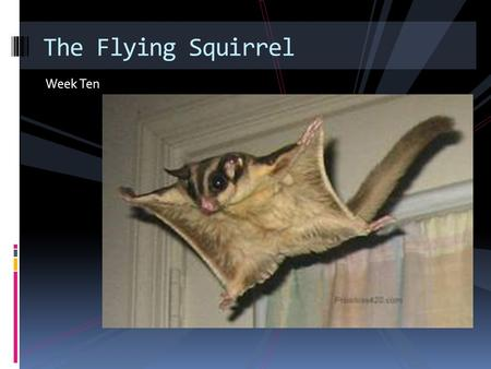 Week Ten The Flying Squirrel. Have you ever heard of a squirrel that can fly? Actually the flying squirrel can't really fly, and it doesn't have wings.