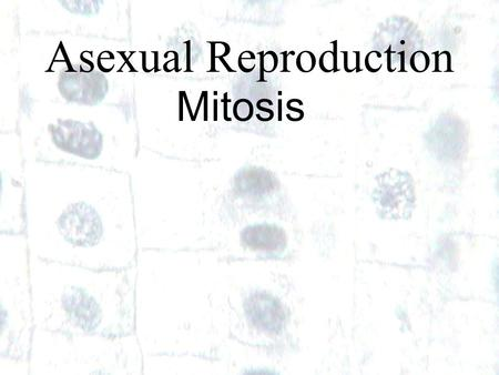 1 1 Asexual Reproduction Mitosis. How do little elephants grow up to be BIG elephants?