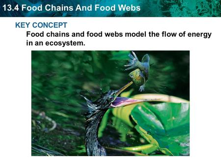 13.4 Food Chains And Food Webs KEY CONCEPT Food chains and food webs model the flow of energy in an ecosystem.