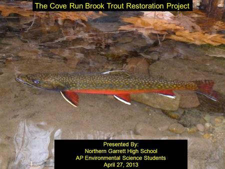 Image or Graphic The Cove Run Brook Trout Restoration Project Presented By: Northern Garrett High School AP Environmental Science Students April 27, 2013.