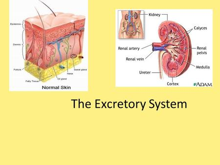 The Excretory System. Write the BLACK Read the RED.