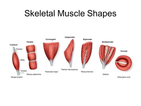 Skeletal Muscle Shapes. Fusiform muscles –thick in middle and tapered at ends Parallel muscles have parallel muscle fibers Convergent muscle –broad at.
