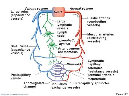 Copyright © 2010 Pearson Education, Inc. Figure 19.2 Large veins (capacitance vessels) Large lymphatic vessels Arteriovenous anastomosis Lymphatic capillary.