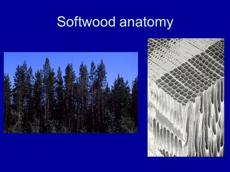 Softwood anatomy.