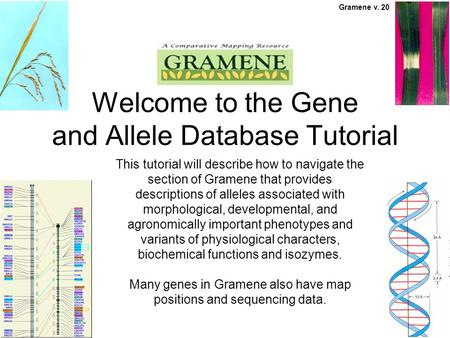 This tutorial will describe how to navigate the section of Gramene that provides descriptions of alleles associated with morphological, developmental,