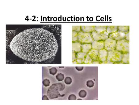 "4-2: Introduction to Cells. Cell Diversity (cont.) Shape – The shape of the cell reflects the function of the cell (""form follows function"") Examples:"