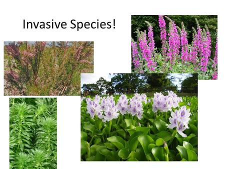 Invasive Species!. I. Invasive Species A.Most species introductions are actually beneficial to humans – we depend heavily on introduced species for food,